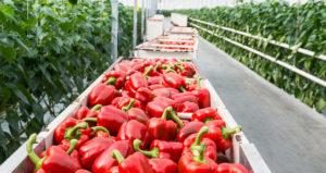 перец сладкий красный болгарский в ящиках