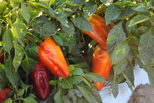 красные и оранжевые перцы
