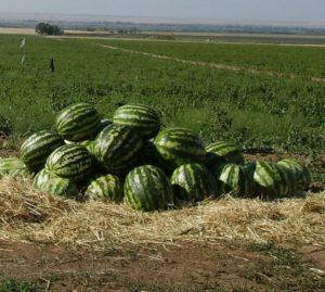 арбуз топ ган выращивание