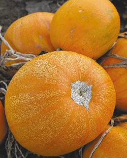 Кустовая оранжевая тыква