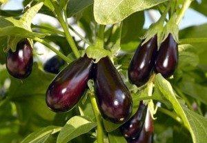 семена баклажанов для открытого грунта