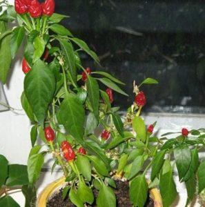 выращивание перца огонек