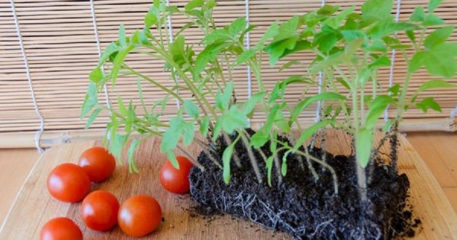 плоды и рассада томатов
