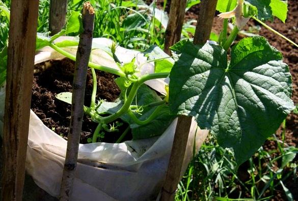 способ выращивания огурцов на участке