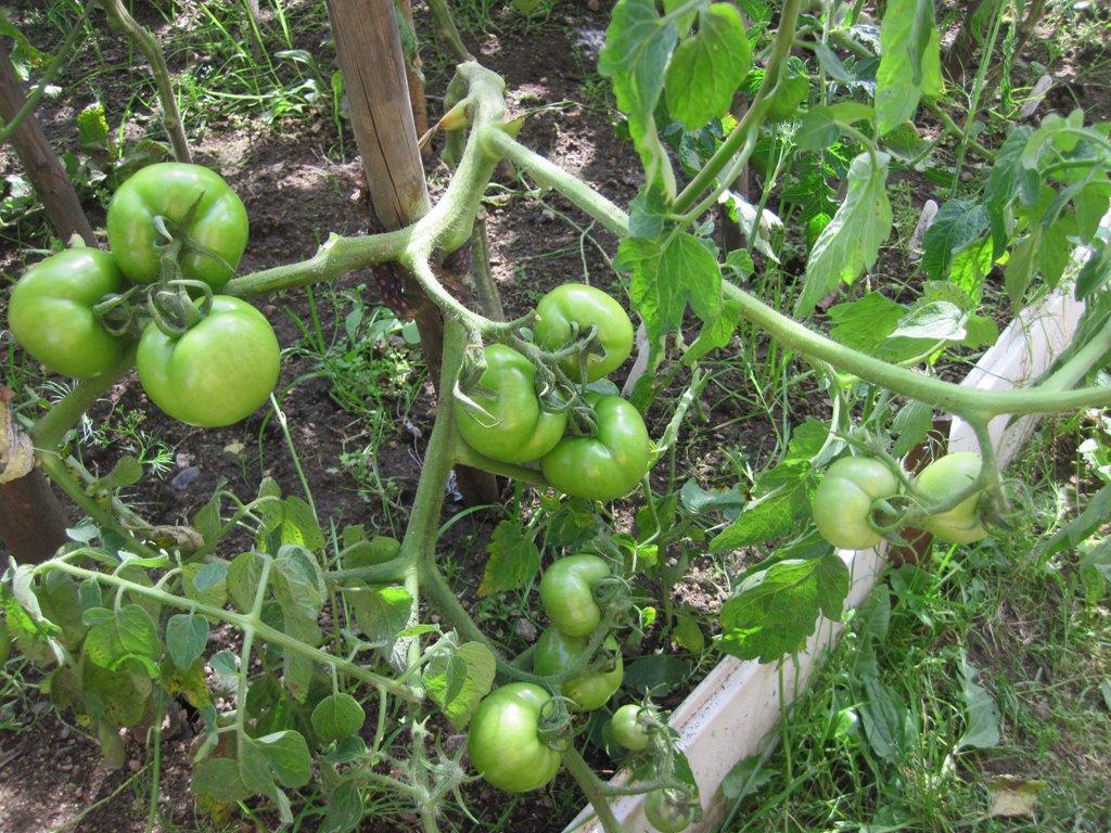 выращивание томатов сорта Катя