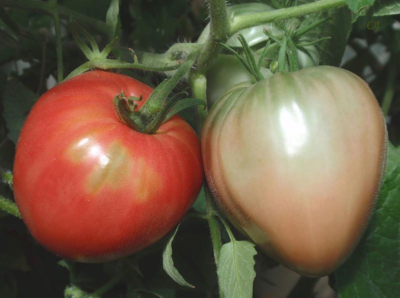 томат Царь-колокол