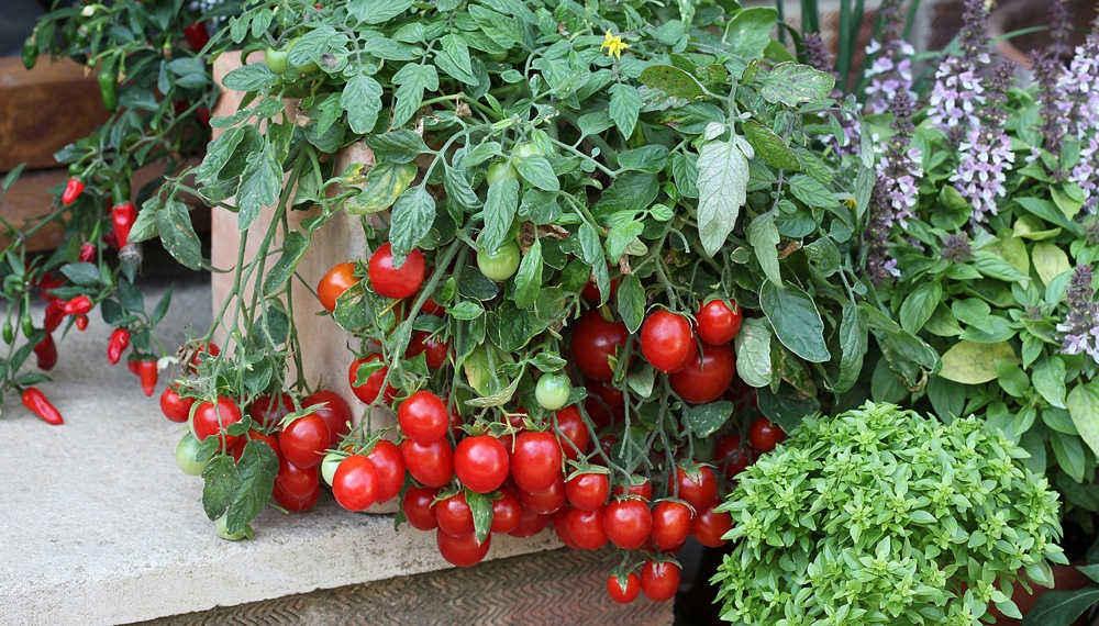 красные томаты на окне