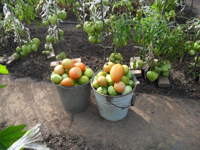 томаты в ведрах
