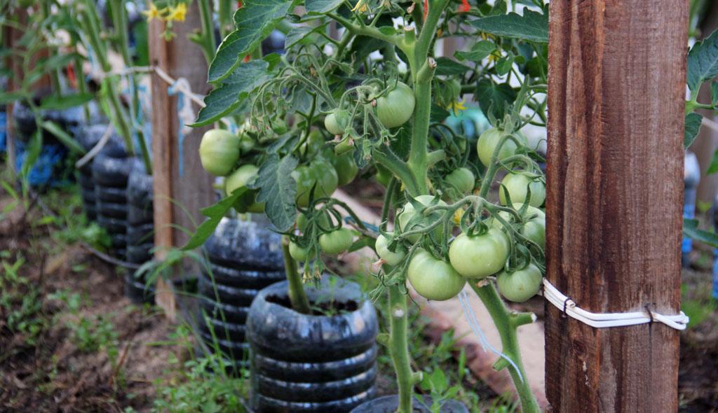 помидоры посаженные в открытый грунт