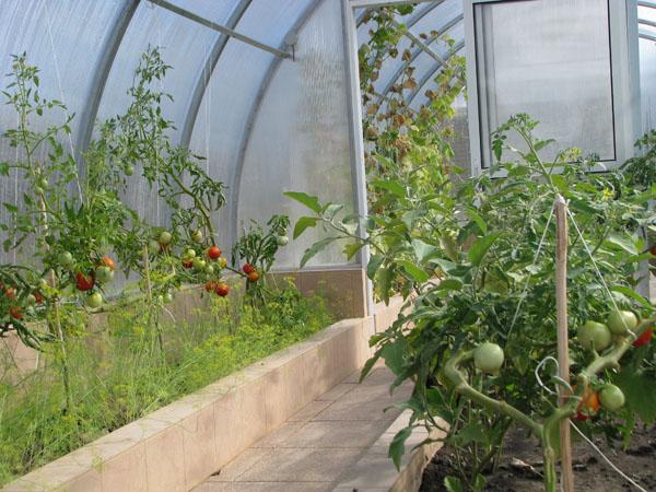 томаты высокорослые для теплиц