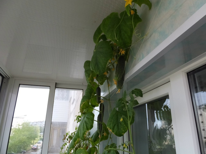 плеть огурцов на балконе