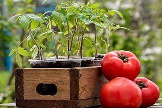 саженцы и спелые томаты