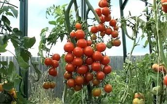 красные мелкие помидоры