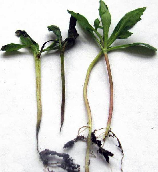 черная ножка у рассады помидоров