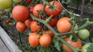 томаты на кисти