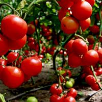 томаты Санька на ветке