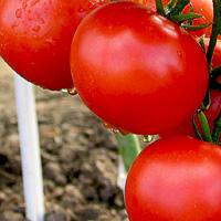 красные помидоры средних размеров