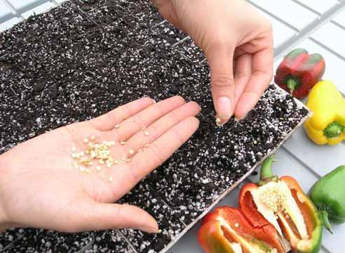 семена перца для посадки