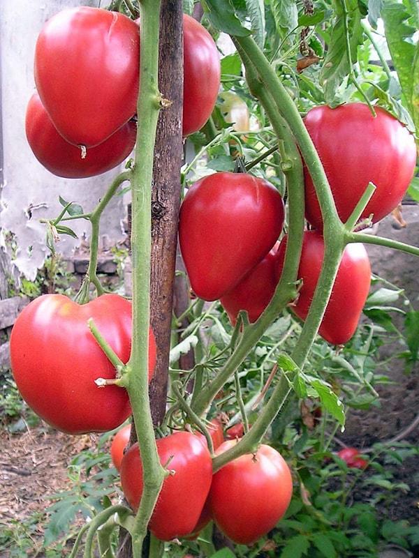 куст с большими томатами