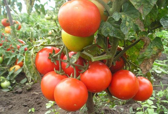 Томат Земляк: описание сорта, правила выращивания, отзывы дачников | 375x550