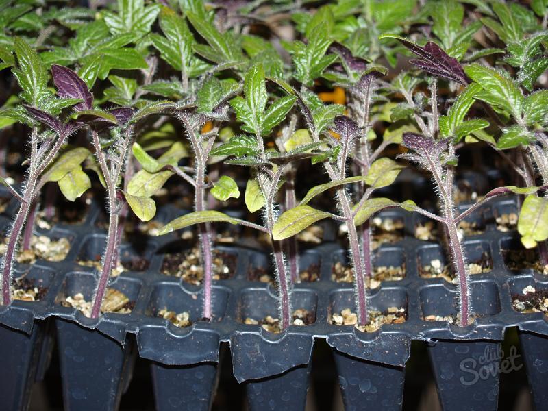 саженцы томатов фиолетовые снизу
