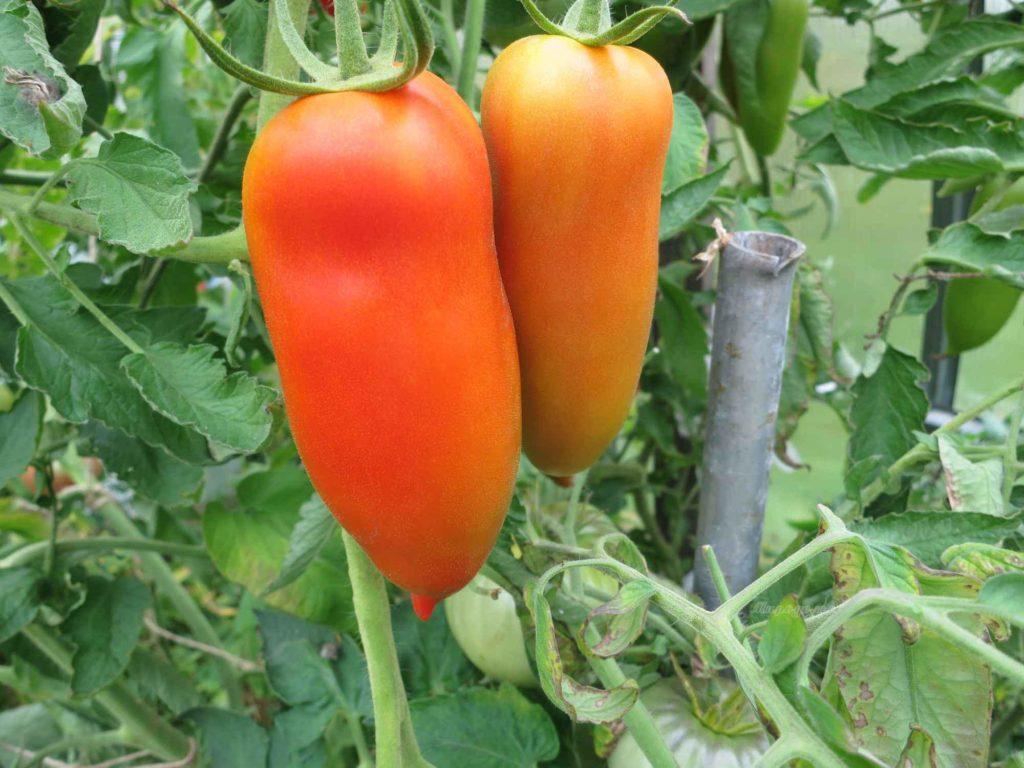 Сорт помидоров оранжевый банан
