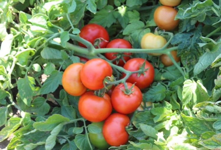 помидоры Катя