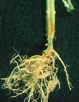 отмирание корней у саженцев огурцов