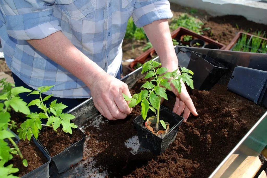 навоз для помидорной рассады
