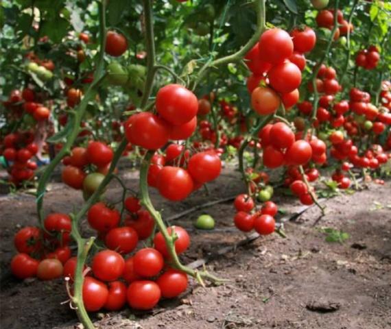 кистевые сорта томатов