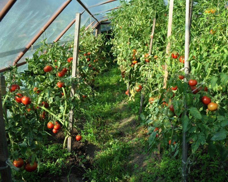 томаты на палках в теплице