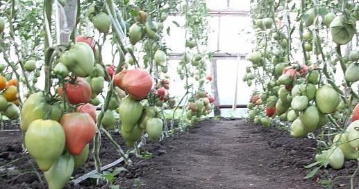 томаты в парнике