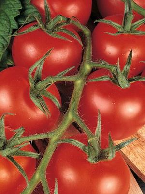 спелые красные томаты на ветке