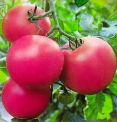 томат Малиновый закат