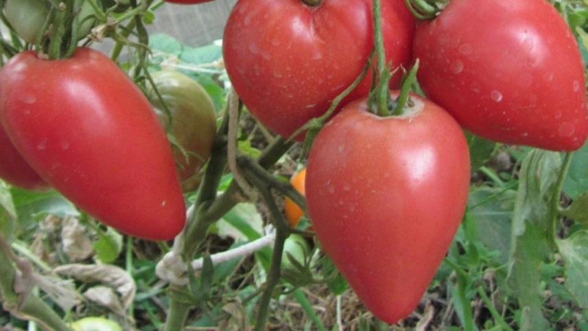 томаты в форме сердца