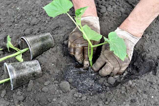 Чем подкормить рассаду огурцов в открытом грунте 28