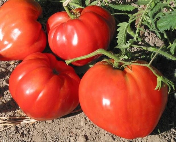 томаты Бычье сердце