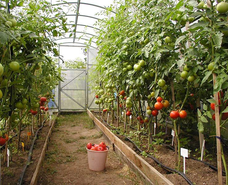 высокие томаты в теплице из поликарбоната