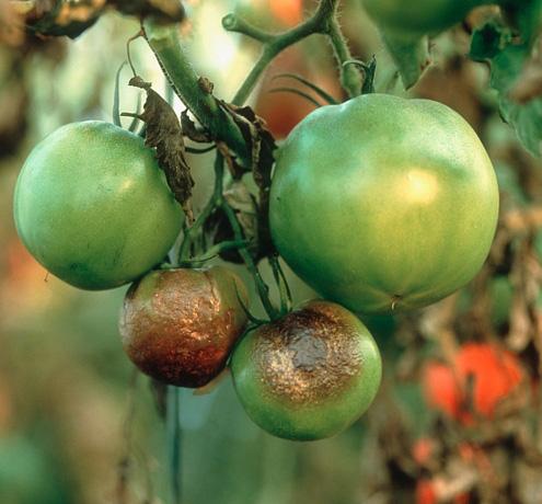 больные плоды томатов