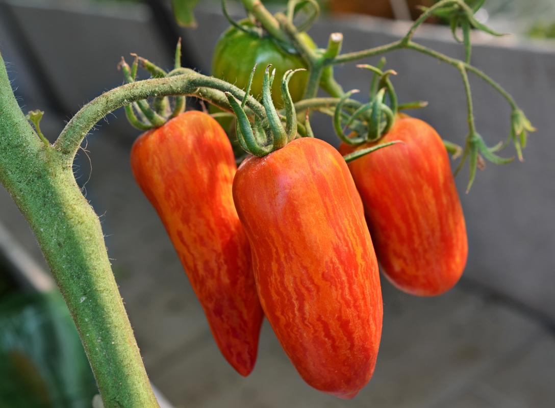 томат Искры пламени