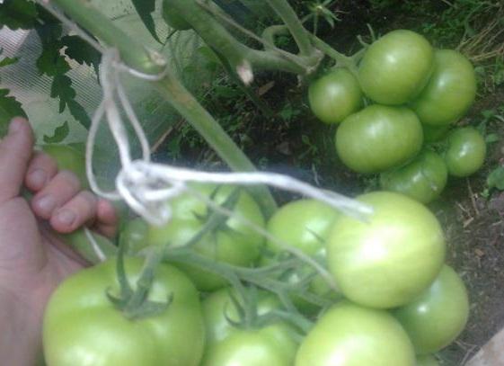 незрелые помидоры на ветке