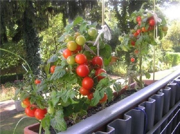 Овощи на лоджии.