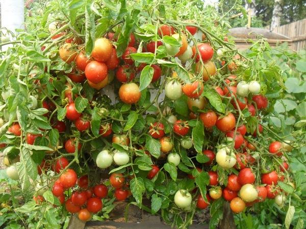томат Садовая Жемчужина