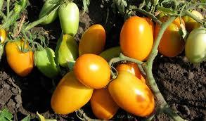 томат Золотая пуля