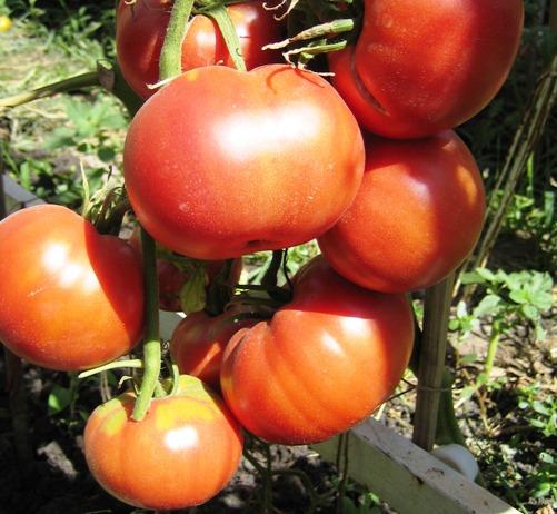 томат Бийский розан