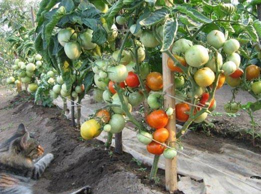 томаты Бобкат F1 на кусте