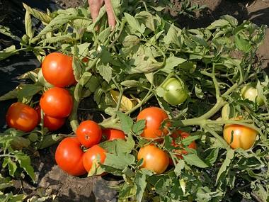 поспевающие томаты