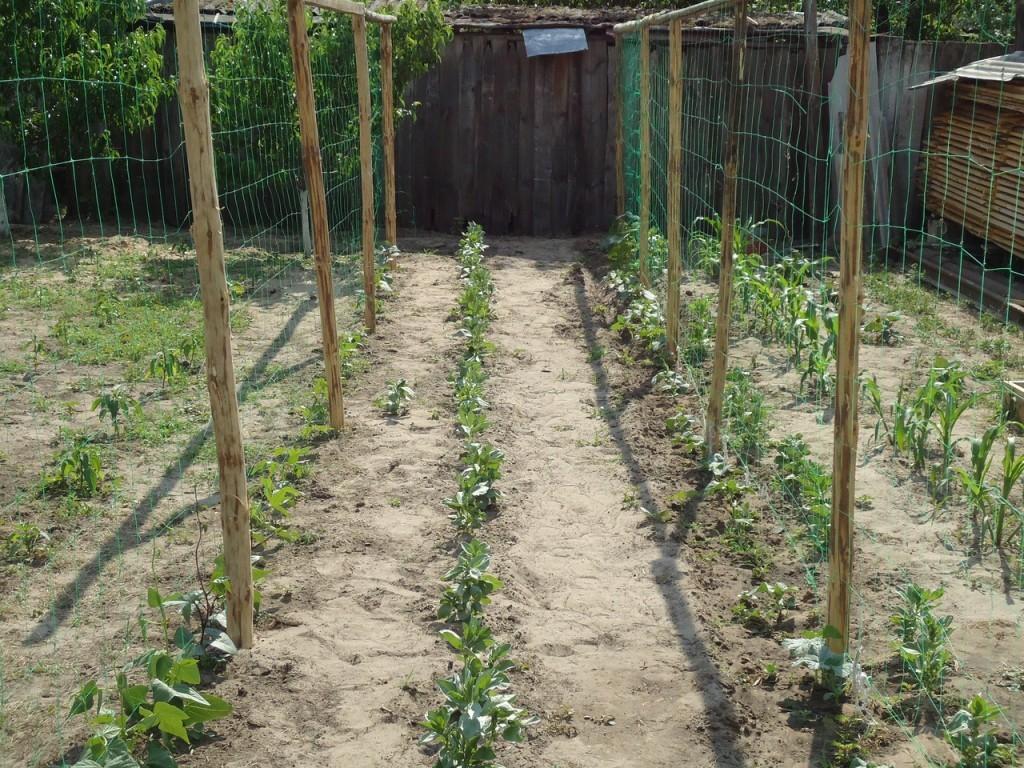 вариант выращивания огурцов