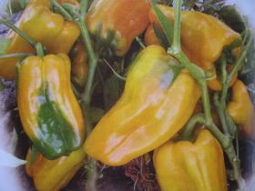 желтые перцы гибридного сорта