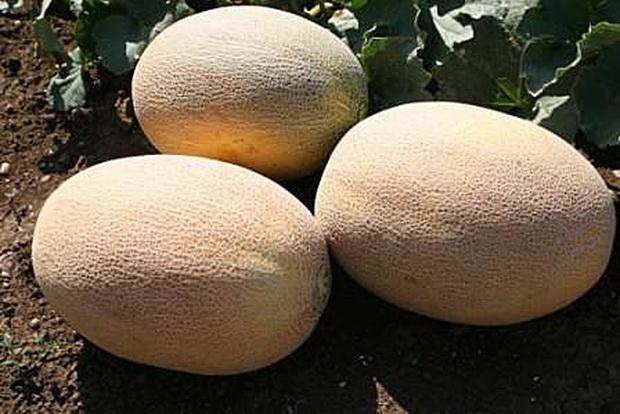 Семена дыни: особенности популярных сортов и выбор подходящего варианта